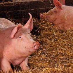 Schweine in unserem Stall in Ferchland